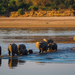 African Elephants in the Luangwa river