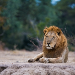 Lion in Lower Zambezi NP